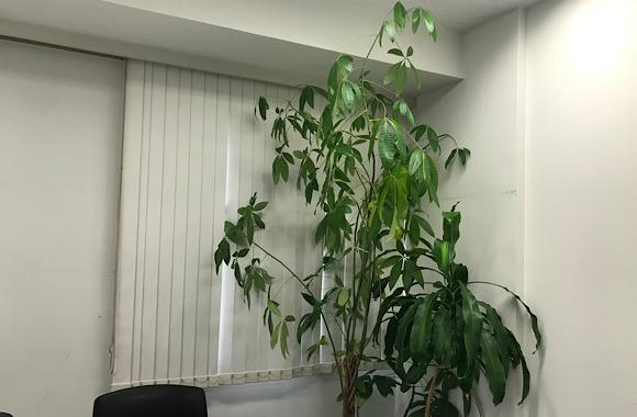 研修室の観葉植物
